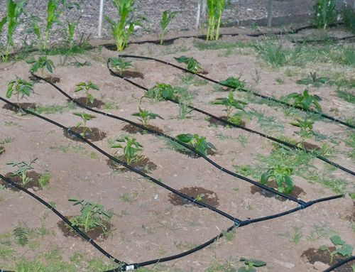 Капельный полив на огороде